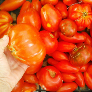 italian red tomatoes